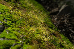 Closeup of moss Stock Photo