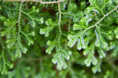 closeup moss in nature Royalty Free Stock Images