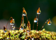 Closeup moss and the sun rays in drops. Forest after rain Royalty Free Stock Image