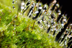 Closeup moss and water drop. Closeup moss in forest after rain and water drop stock photography