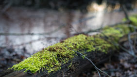 Closeup of mosses growing on a dead tree trunk Stock Photo