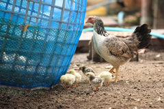 Closeup of A mother chicken with its baby chicks Royalty Free Stock Photography