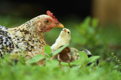 Closeup of a mother chicken with its baby Royalty Free Stock Photo
