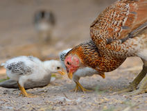 Closeup of a mother chicken with its baby chicks Stock Images