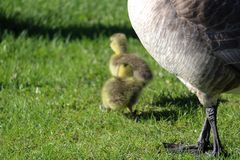 Closeup of a mother goose legs with her goslings blurred in the background.  royalty free stock images