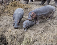 Closeup of mother hippo pushing reluctant baby hippo from land into the river Stock Photos