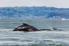 Closeup of mother humpback whale, Megaptera novaeangliae, swimming with baby in San Francisco Bay. Rare sighting of mother humpback whale, Megaptera novaeangliae stock photos
