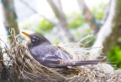 Closeup of Mother robin on her nest with bokeh trees in background royalty free stock photography