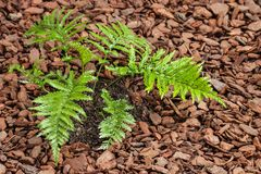 Mother spleenwort fern growing in mulched soil Royalty Free Stock Photography