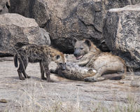 Closeup of a mother spotted hyena with two cubs on a rock Stock Image
