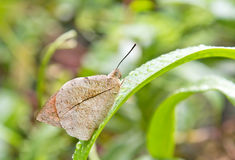 Closeup of Mottled Emigrant Butterfly of Singapore Royalty Free Stock Photo