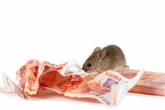 Closeup mouse gnaws banknotes on pile of cash on white background. Stock Photo