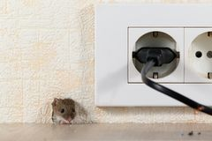 Closeup mouse peeps out of a hole in the wall with electric outlet Stock Photography