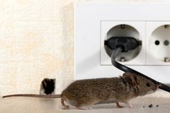 Closeup mouse sniffing the wire on the background of the outlet and the hole in the wall. Royalty Free Stock Photo