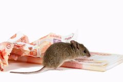 Closeup mouse sniffs paper currency on pile of cash on white background. Stock Image