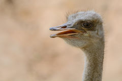 Closeup mouth-head ostrich Stock Image