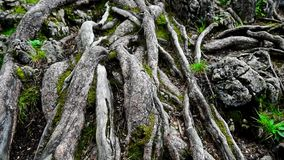 Closeup moving shot of tree roots. In forest with moss and grass stock footage