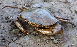 Closeup of a mud crab Royalty Free Stock Images