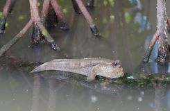 Closeup of Mudskipper Stock Photos