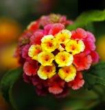 Closeup of multi colored lantana flowers Stock Photos