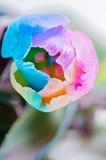 Closeup of multicolored tulip Stock Photo