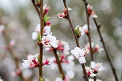 Multiple white cherry flowers closeup stock image