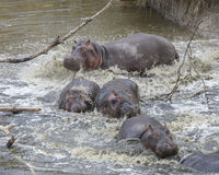Closeup of multiple hippos partially submerged in water after crashing into the river from land Stock Photography
