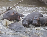 Closeup of multiple hippos partially submerged in water after crashing into the river from land. In the Serengeti National Park, Tanzania Royalty Free Stock Images