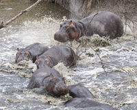 Closeup of multiple hippos partially submerged in water crashing into the river from land Stock Photos