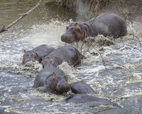 Closeup of multiple hippos partially submerged in water crashing into the river from land. In the Serengeti National Park, Tanzania Royalty Free Stock Images
