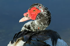 Closeup of Muscovy Duck Head Stock Image