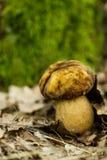 Closeup of mushroom Royalty Free Stock Photography