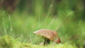 Closeup mushroom in forest with nature green background. Edible mushroom in wood. Closeup view of edible forest mushroom brown cap boletus growing in summer stock video