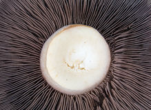 Closeup of a Mushroom Stock Photos