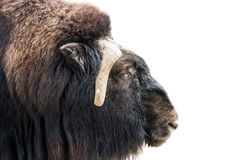 Closeup of musk-ox head Royalty Free Stock Photos