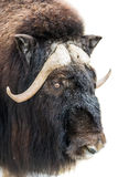 Closeup of musk-ox head Stock Photos