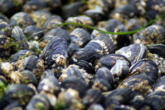 Closeup of Mussels Royalty Free Stock Image