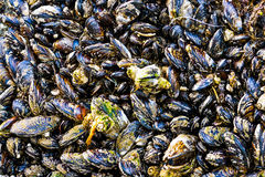 Closeup on Mussels Shellfish Attached to Rock by Sea Shore Stock Photos