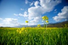 Closeup of Mustard Stock Image