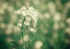 Closeup of mustard flowers Royalty Free Stock Photography