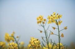 Closeup of mustard flowers Stock Photography