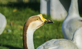 Closeup of a Mute Swan Bird head. Eating grass and looking away Royalty Free Stock Photography
