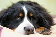 Closeup muzzle of Bernese Mountain dog Berner Sennenhund lie on human`s bed at home. Concept of warm friendship, love, stock photography