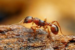 Closeup of myrmica ant Royalty Free Stock Photography