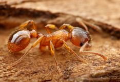 Closeup of myrmica ant Stock Photos