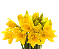 Closeup of narcissus flowers isolated on white Royalty Free Stock Image