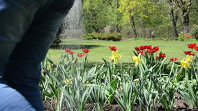 Closeup of narcissus and tulip flowers watering in spring garden. Closeup of narcissus and tulip flowers grow in spring garden and gardener watering stock footage