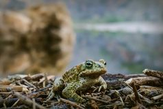 Closeup of Natterjack Toad. Macro close-up shot of Nattherjack Toad in nature Stock Photography
