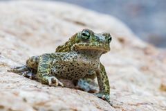 Closeup of Natterjack Toad. Macro Closeup shot of Natterjack Toad in nature Royalty Free Stock Photos