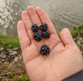 Closeup of natural blackberries Rubus fruticsos on hand royalty free stock photo
